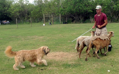 Wheaten Terrier sheep herding confidence